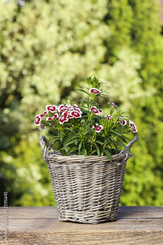A popular fragrant biennial garden plant, Sweet William or Diant