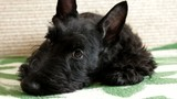 Scottish terrier puppy on the couch