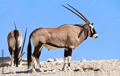 Fotobehang Antilope Oryx grazing in the desert