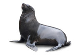 Brown fur seal - Fine Art prints