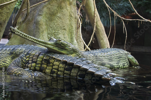 Foto op Plexiglas Krokodil Gangetic gharials
