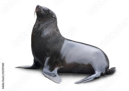 Brown fur seal - 52597460