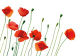 Fototapety red poppies isolated on white
