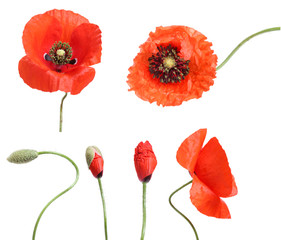 Stages of growing poppies isolated on white