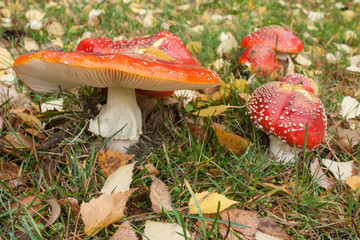 toadstools with fallen leaves in early autumn