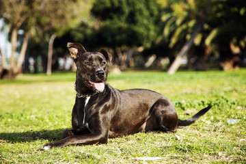 Mixed Pitbull Dog Portrait at the Park