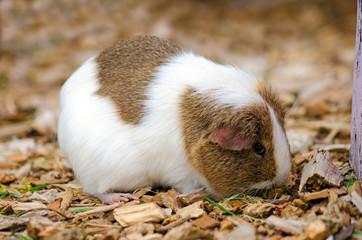 Single Guinea Pig