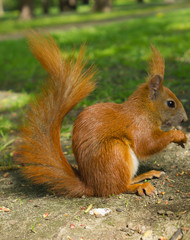 Red Eurasian squirrel sitting in the park