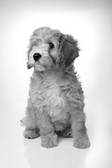 adorable cavapoo