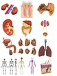 collection of 3d renders - male organs
