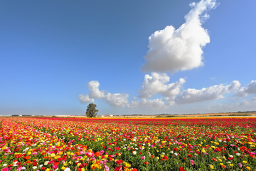 Boundless kibbutz field sown with flowers