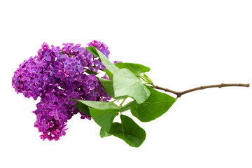 Brunch of  of Lilac