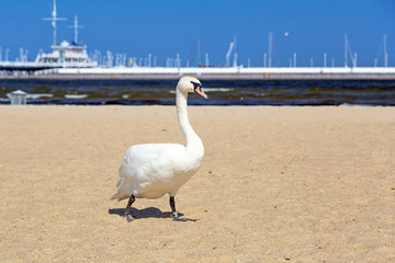 Beautiful swans on the beach in Sopot, Poland