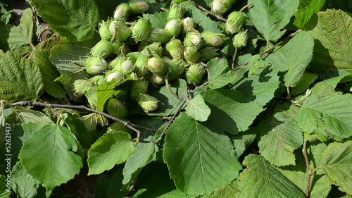 filbert nuts poured on green leaf background. ecologic diet food