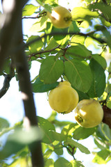 Quince fruit on the tree