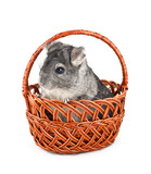 Gray chinchilla sitting in basket