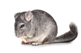 Grey chinchilla isolated
