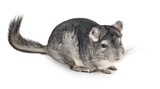 Gray chinchilla on white