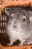 Gray chinchilla close-up