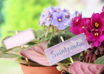 Bright saintpaulias on natural background