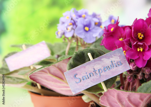 Bright saintpaulias on natural background