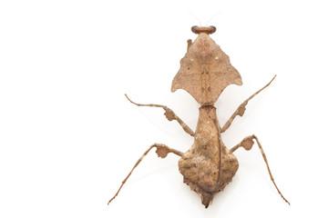 Malaysian Dead Leaf Mantis