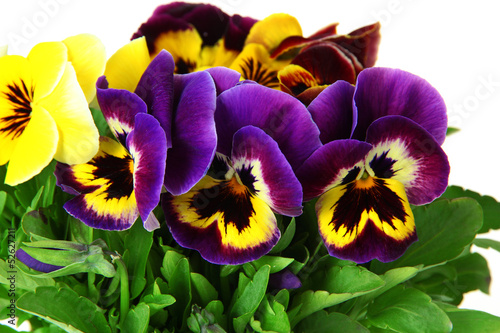 Fotobehang Pansies Beautiful pansies flowers isolated on a white