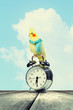 Parrot sitting on alarm clock