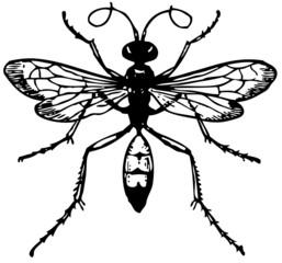 Wasp Pompilus viaticus