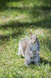 A grey squirrel while looking at you