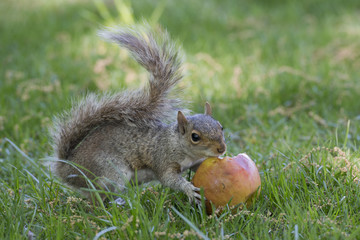 A grey squirrel while eating an apple