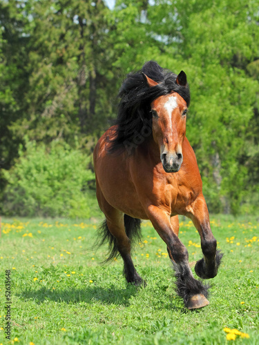 Sorrel horse gallops around the pasture