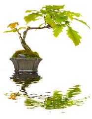 Bonsai Eiche Spiegelung