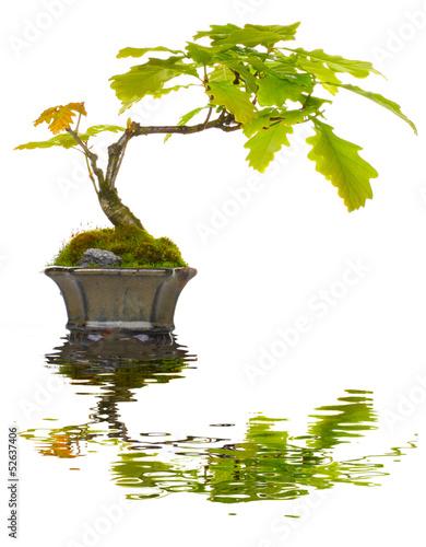 bonsai eiche spiegelung von fotoknips lizenzfreies foto 52637406 auf. Black Bedroom Furniture Sets. Home Design Ideas