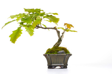 Bonsai Eiche