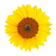 Sunflower (Helianthus annuus) isolated