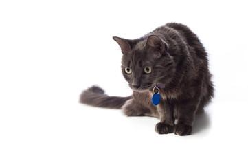 Gray Nebelung Cat Stalking