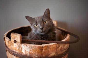 Grey Nebelung Cat in Wooden Bucket