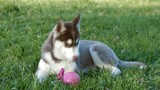 charming husky puppy in the park