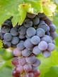 Black grape bunch