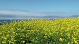 Bright yellow Blooming Canola field at spring. California,