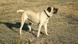 English Mastiff abbaia