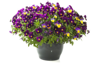 Violets in purple
