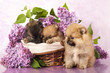 spitz puppy and flowers  lilac