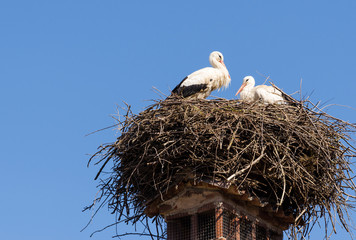Two white storks in their nest