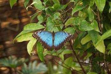 Peleides Blue Morpho - Mopho peleides