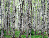 Background of birch trees