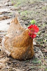 Sick hen