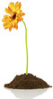 fleur de gerbera sur motte de terre