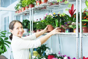 woman chooses  Primula or  hyacinth at  store